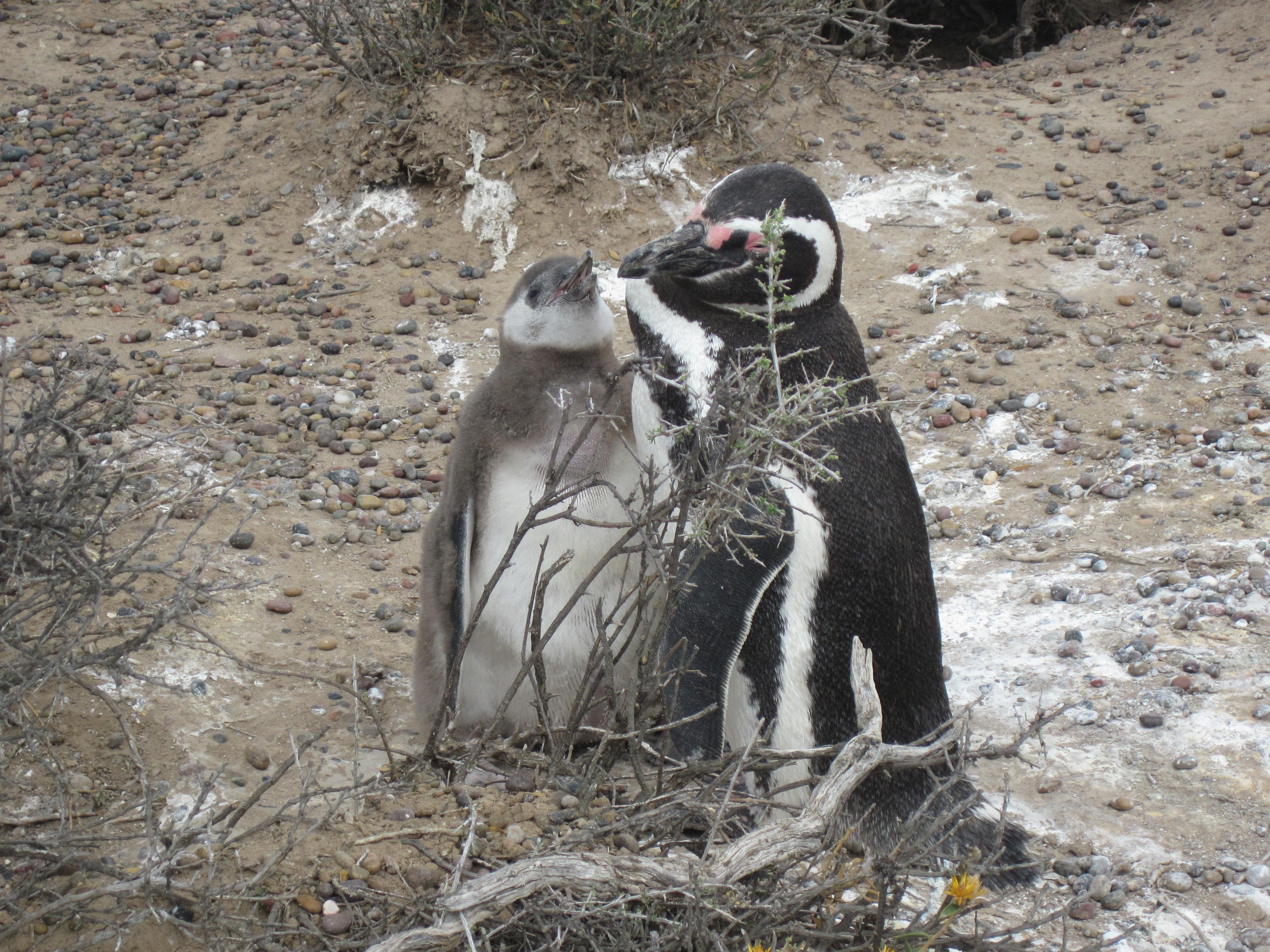 Pinguins, Peninsula Valdes
